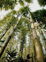 Bambus-hoch